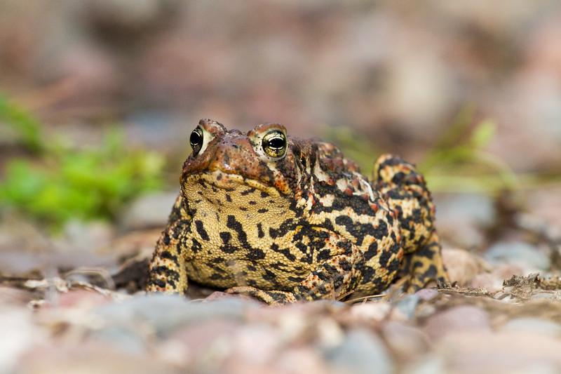 toad American Toad Bufo americanus garden at Skogstjarna Carlton County MN IMG_3477.jpg