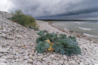 Brassicaceae Korsblommiga