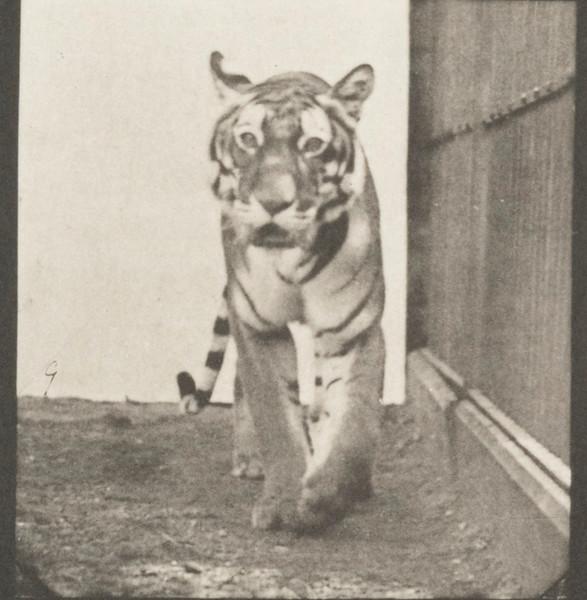 Tigress walking and turning around