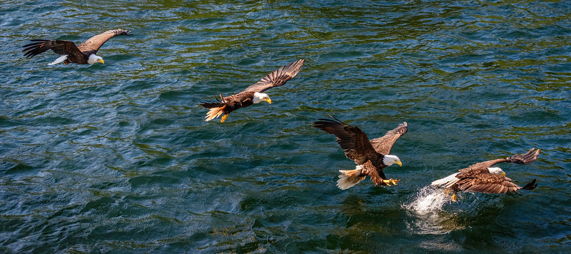 DSC 1506 eagle (4).jpg
