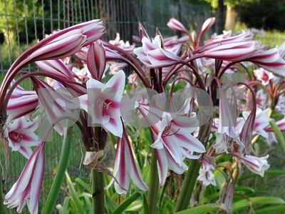 crinums-are-tough-beauties-that-can-take-the-heat