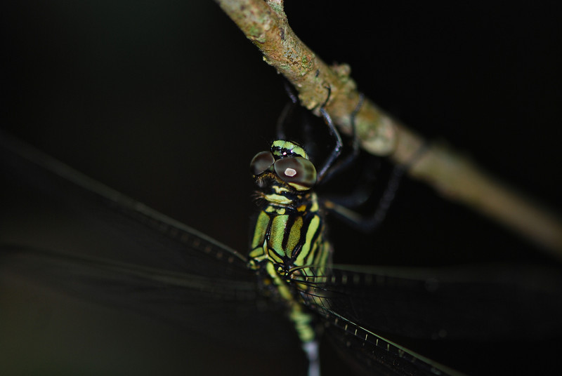 Common Flangetail Dragonfly