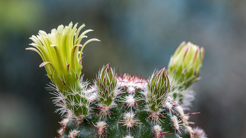 Echinocereus-viridiflorus