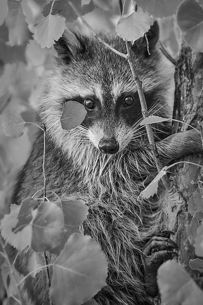 Minnesota Raccoon