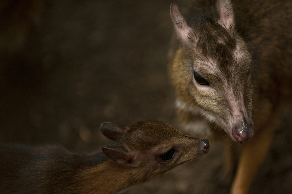 ". A picture taken on April 25, 2014 shows a Java mouse-deer cub, one of the world\'s smallest hoofed animals, and its mother at the Fuengirola Biopark, near Malaga. The latest specimen of the world\'s tiniest deer -- a rare species no bigger than a hamster -- has been born in a nature park in southern Spain, conservationists said today. The baby ""deer-mouse\"" became just the 43rd living member of this species in Europe when it was born on April 9.  Jorge Guerrero/AFP/Getty Images"