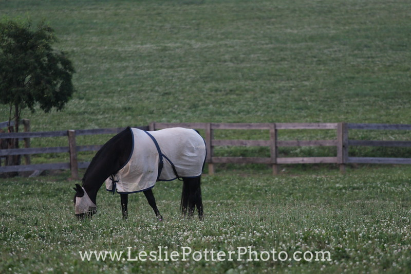 Black Horse Wearing Fly Mask and Fly Sheet