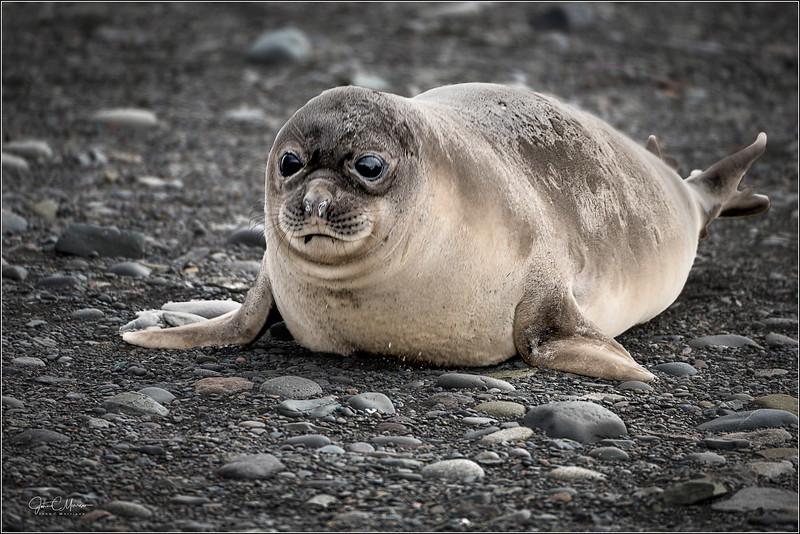 JZ7_0073 Ele Seal Pup LPr1W.jpg