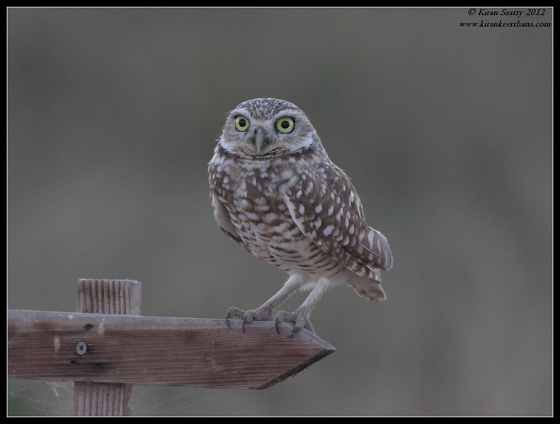 Burrowing Owl, Cibola National Wildlife Refuge, Arizona, November 2012