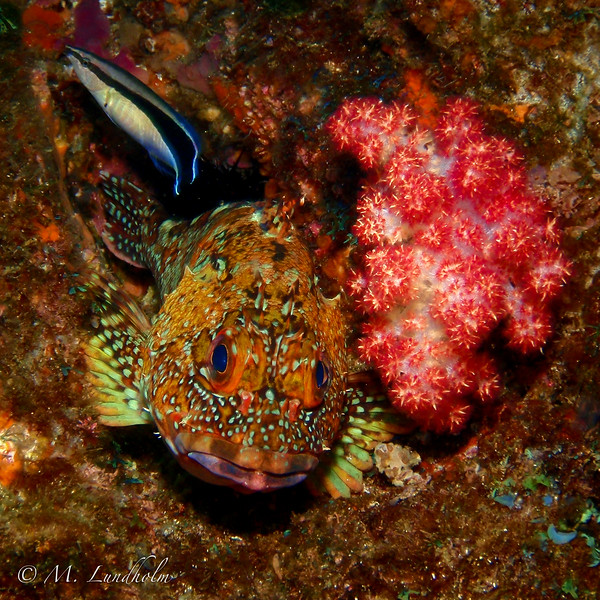 Marbled Rockfish & Cleaner Wrasse