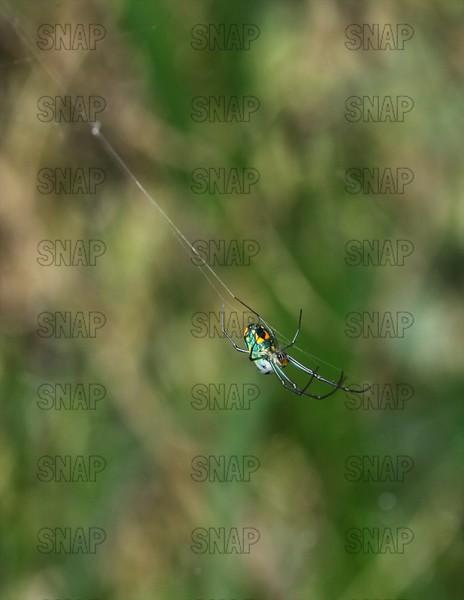 Mabel Orchard Spider ♀