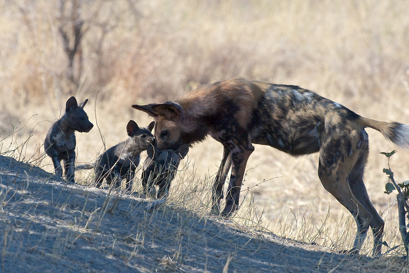 African wild dog and pups, Kwando Lagoon, Botswana