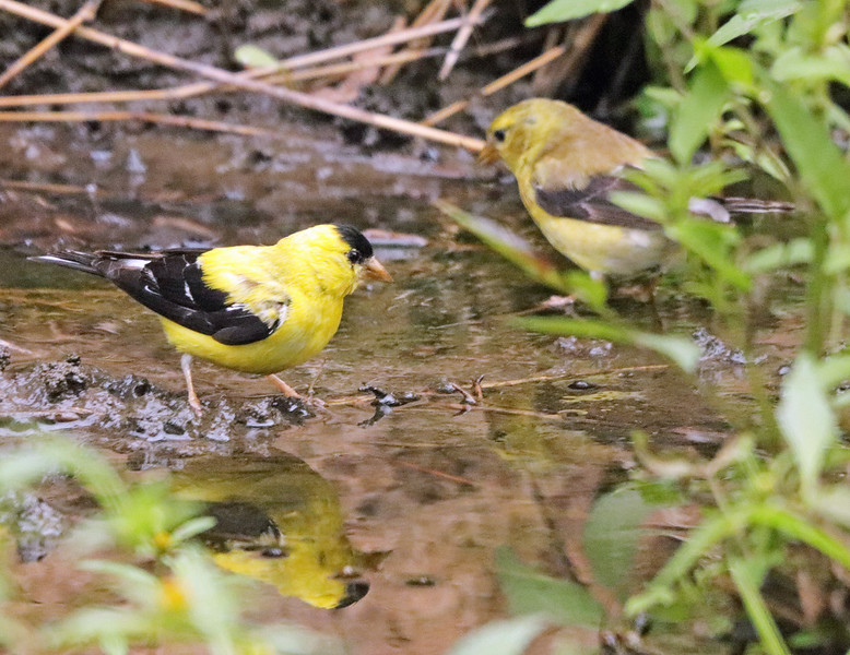 Goldfinches 33