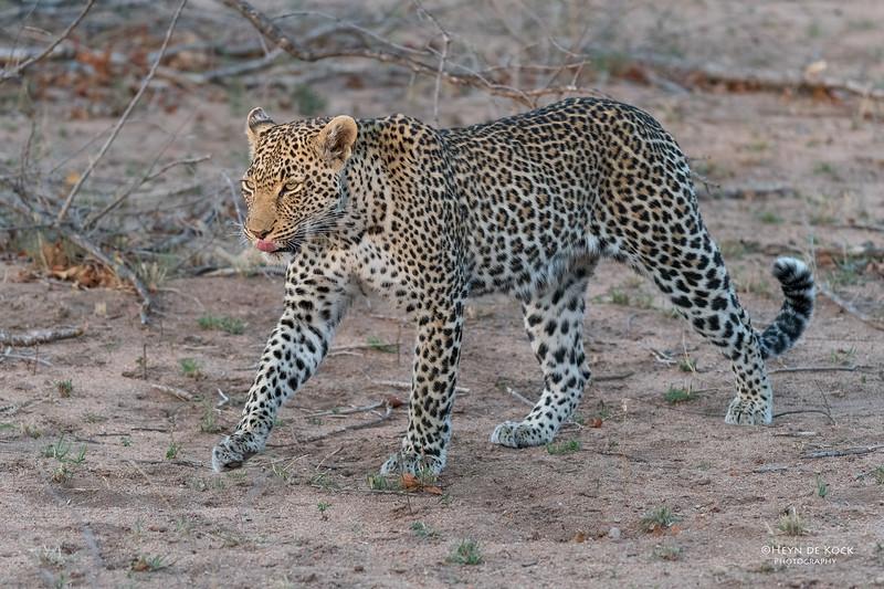 Leopard (Moya), Sabi Sands (EP), SA, Oct 2016-1.jpg