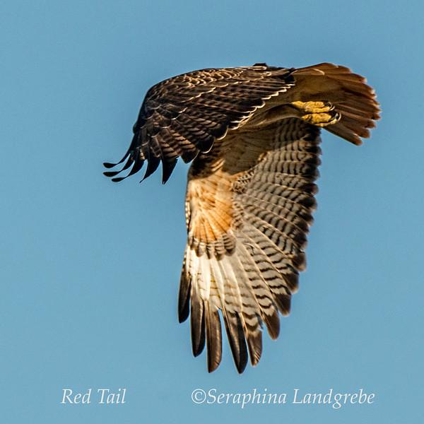 _DSC9127Seraphina Red Tail Hawk Wings.jpg