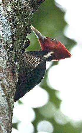 Palebilled Woodpecker