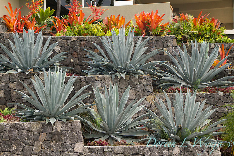 Rock wall terrace Agave_010.jpg