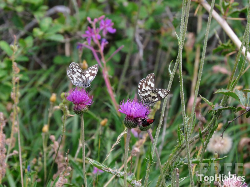Butterflies in Vetan in the Aosta Valley, Italy