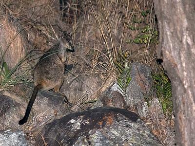 Unadorned Rock-wallaby