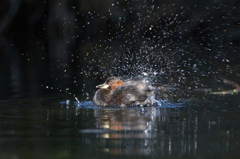 Little Grebe - 7709.jpg