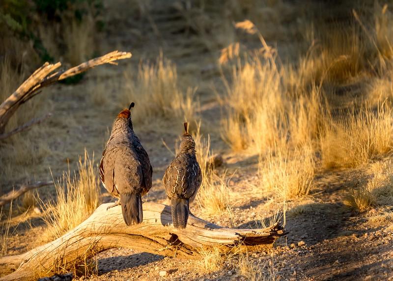 Other Birds of Arizona