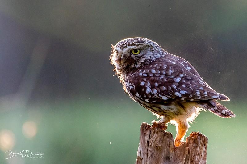 The Little Owl Shoot-6031.jpg