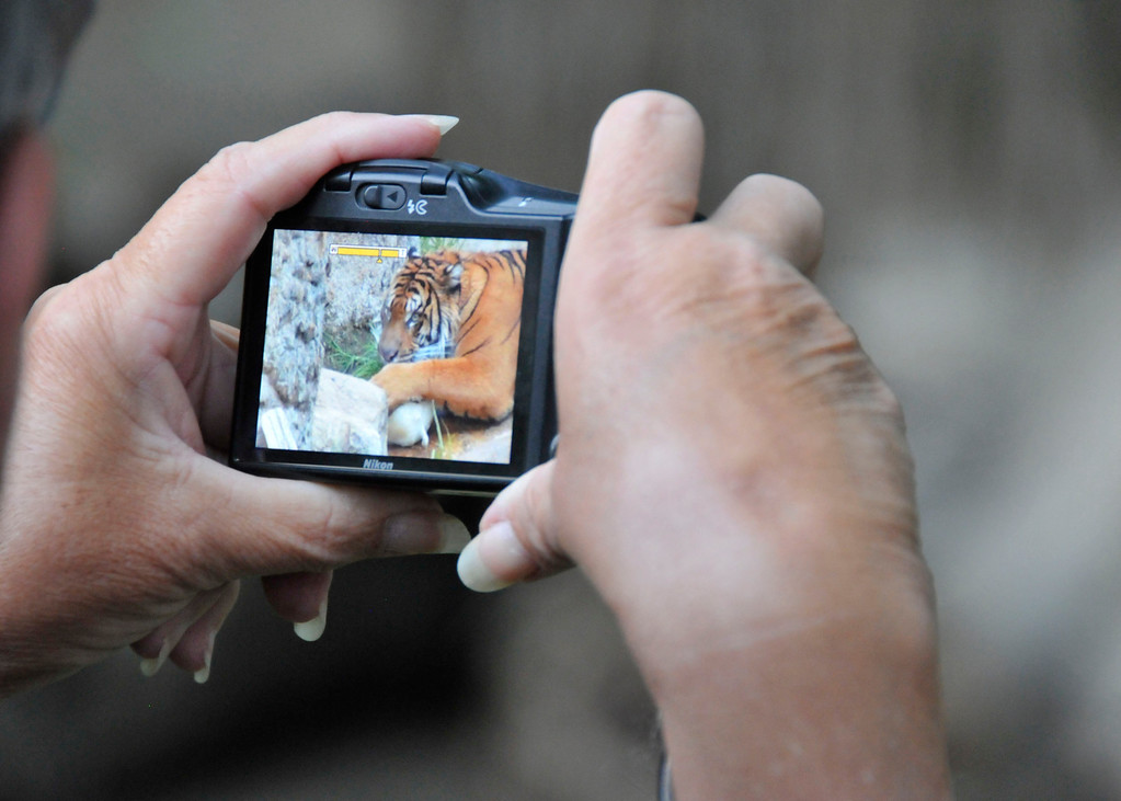 . A guest at the Greater Los Angeles Zoo Association\'s Sunset Safari snaps a pic of one of the Zoo\'s two tigers.  (Photo by George Stoneman for the Daily News)