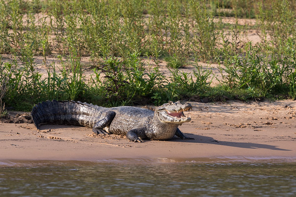 Reptiles of the Pantanal and the Amazon