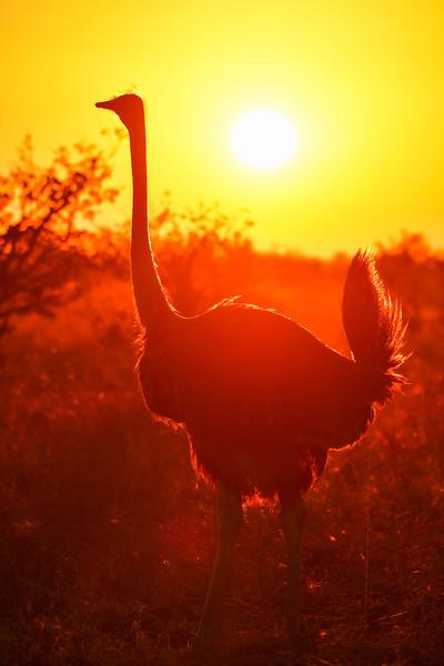 Ostrich and Sunrise