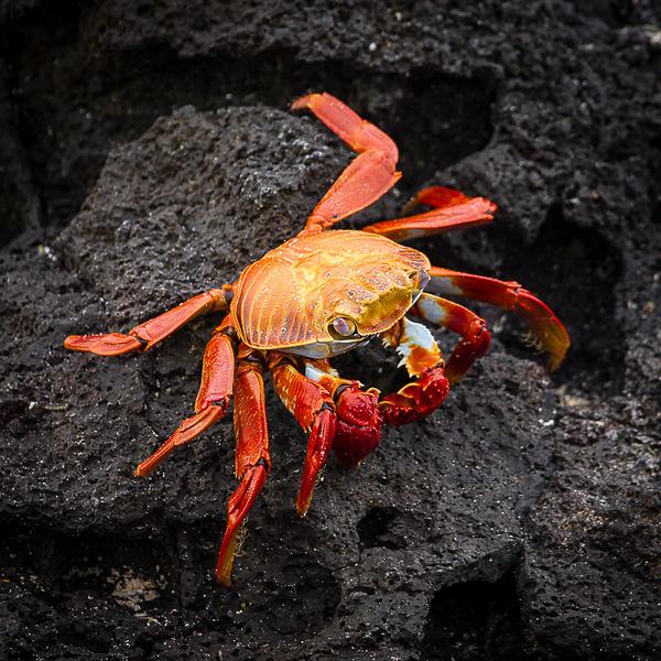 Sally Lightfoot Crab_John Hoffman.jpg
