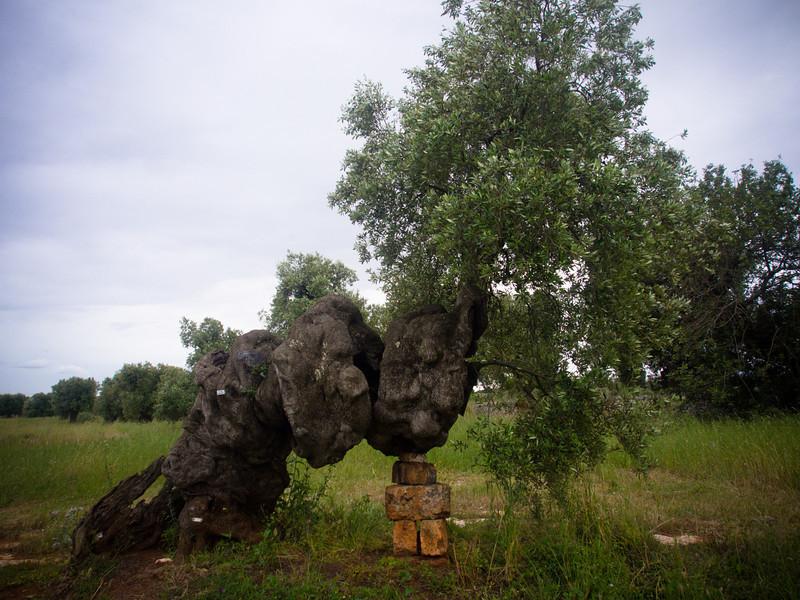 brindisi brancat olive trees 8.jpg