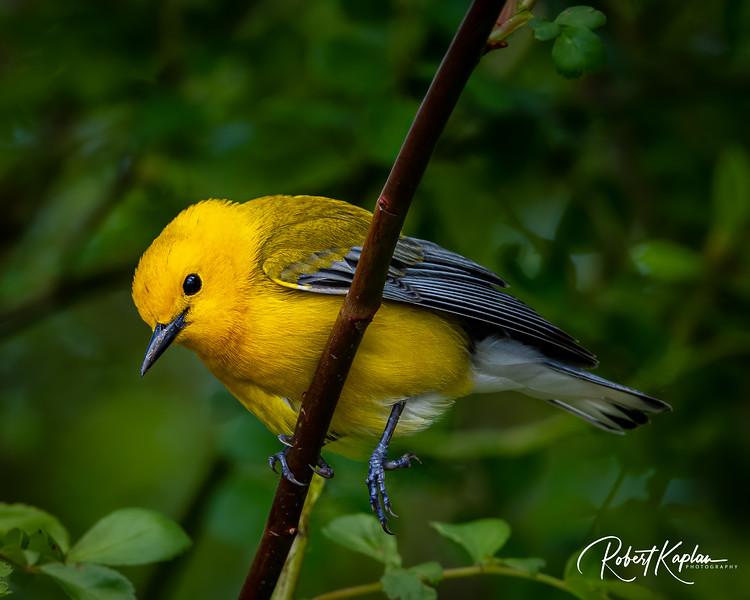 Prothonotary Warbler DeNoised_7908-.jpg