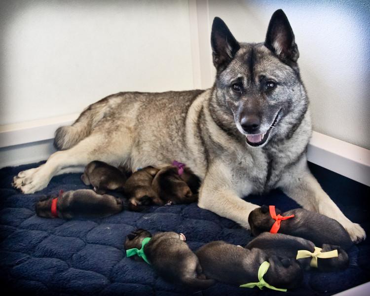 2012 Tinkerbell x Jarls puppies