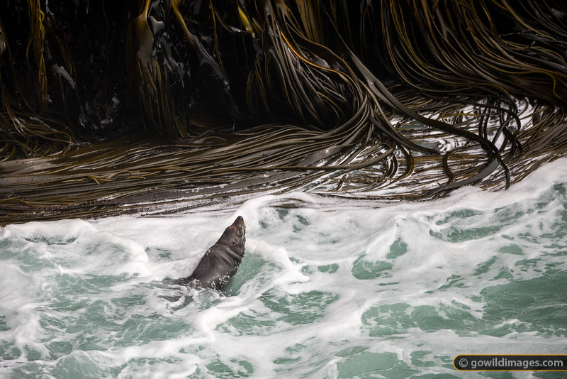 New Zealand Fur Seal Swimming