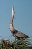 Great Blue Heron Displaying at Viera Wetlands #1 01/14