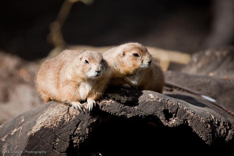 Prairie Dogs, Calgary Zoo