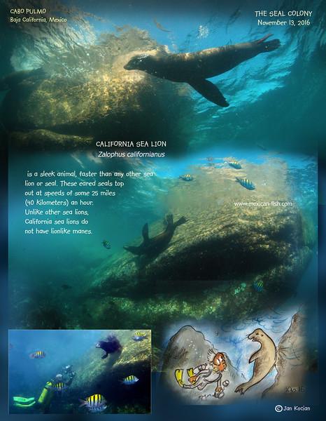 11.13.16 Calif Sea lion .jpg