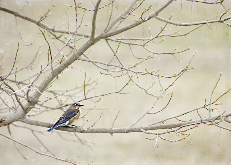 Bluebird, Matted Prints Available Starting at $30