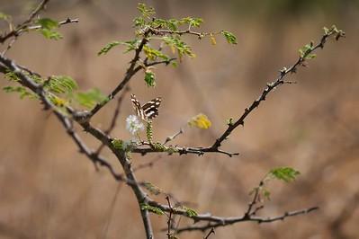 White, Zebra (spp. melanarge)