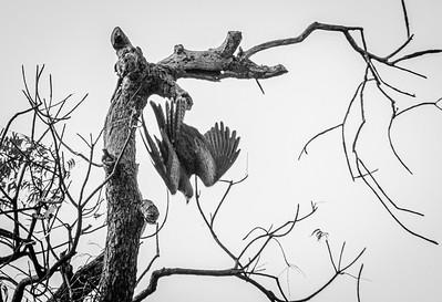 Parakeets and kite