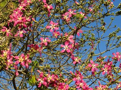 Silk Floss tree in blooms (Oct 2015)