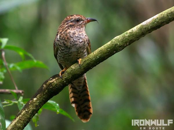 Birds of Coron and Busuanga