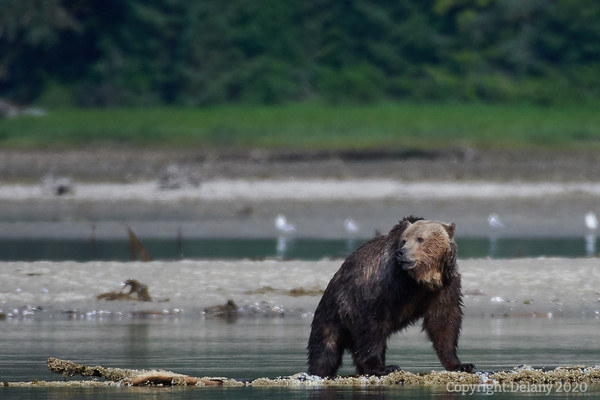 Bears of Bute Inlet Photos