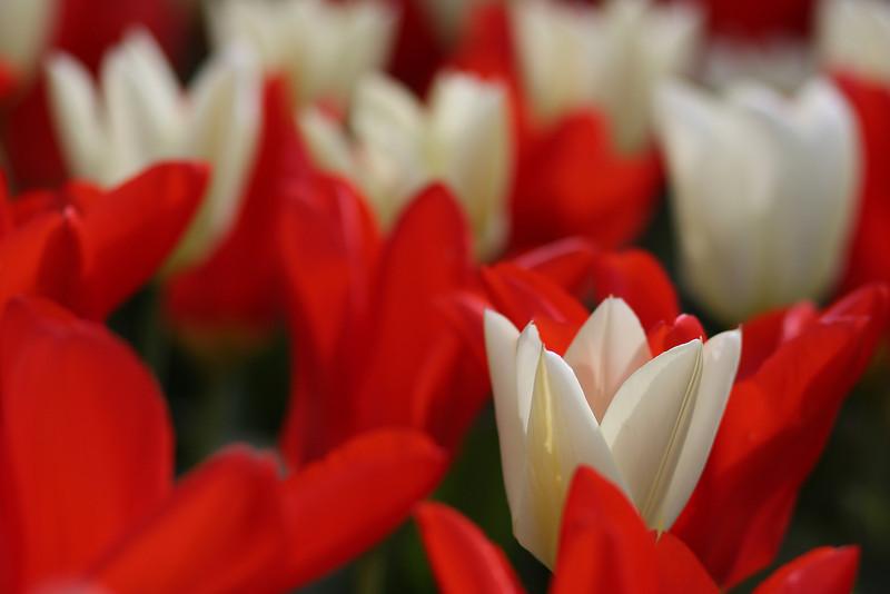 Tulips-2010 09.JPG