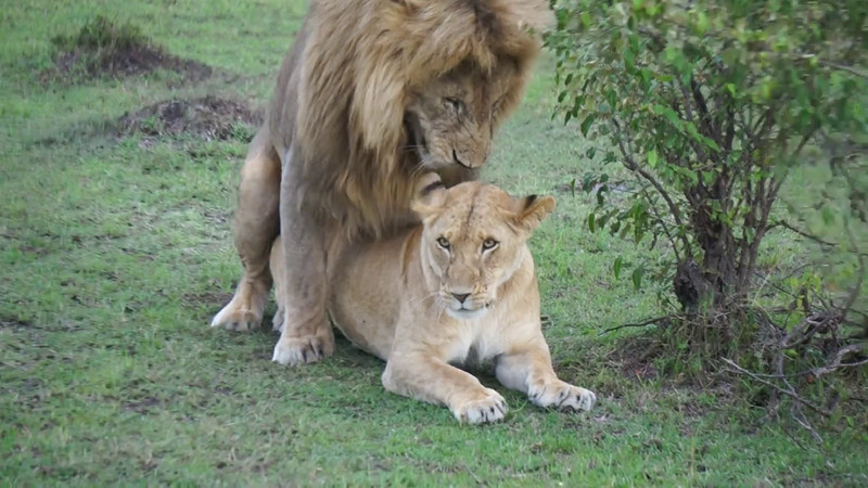 Masai Mara Videos