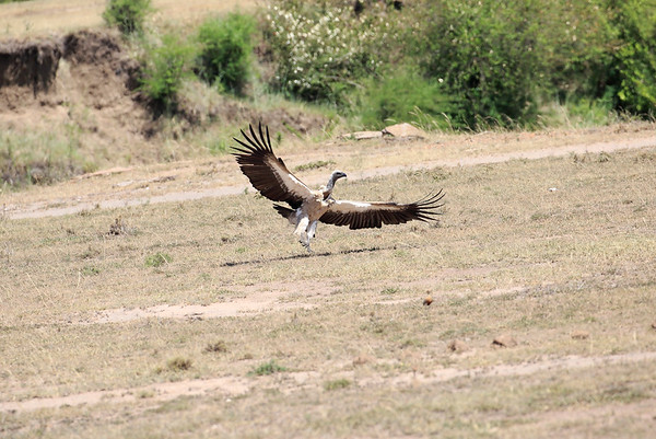 Vultures Mara Asilia Kenya 2015