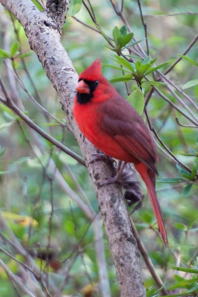 Cardinal - Northern - male - Native Nurseries - Tallahassee, FL