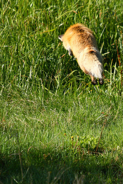 The female fox pounces on her meal