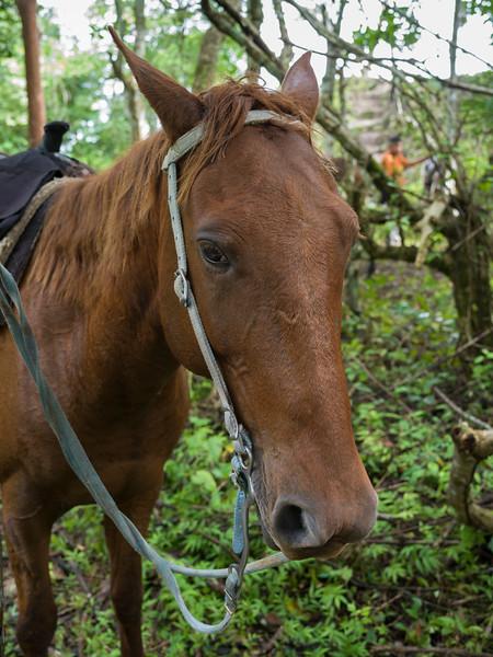 Close-up of horse, Chaa Creek Road, Chaa Creek Nature Reserve, San Ignacio, Belize