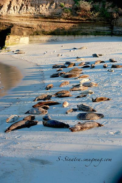 La Jolla California sea lions 265.jpg