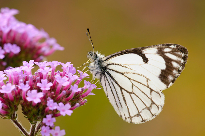 Pine White Butterfly on Brazilian Verbena